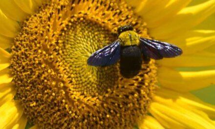 ¿Por qué las abejas finalmente tienen un descanso?